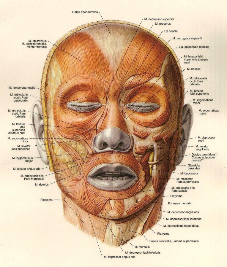 Mimische Muskulatur || Med-koM